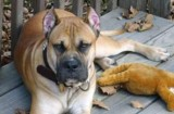 Three seriously injured as pet mastiff turns on its owners in Galicia
